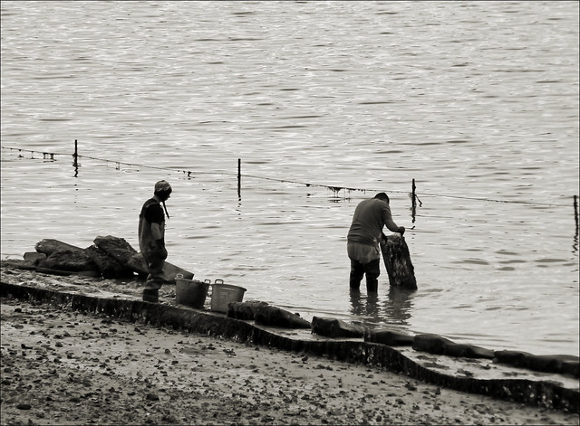 Oyster Pickers