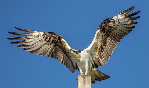 outdoor dennis adair tierra verde nature wildlife 7dm2 7d ii ef100400mm canon florida bird beak ft fort desoto