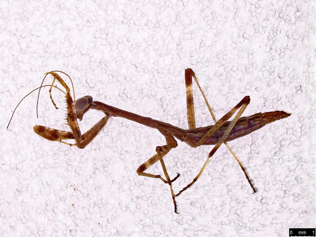 1a - Mantodea sp.