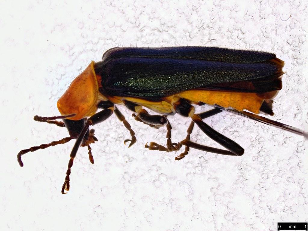 4 - Chauliognathus tricolor (Castelnau, 1840)