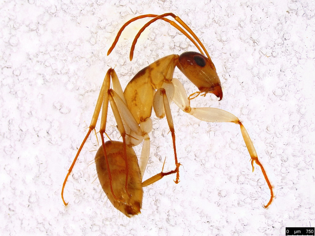 11a - Camponotus claripes Mayr, 1876