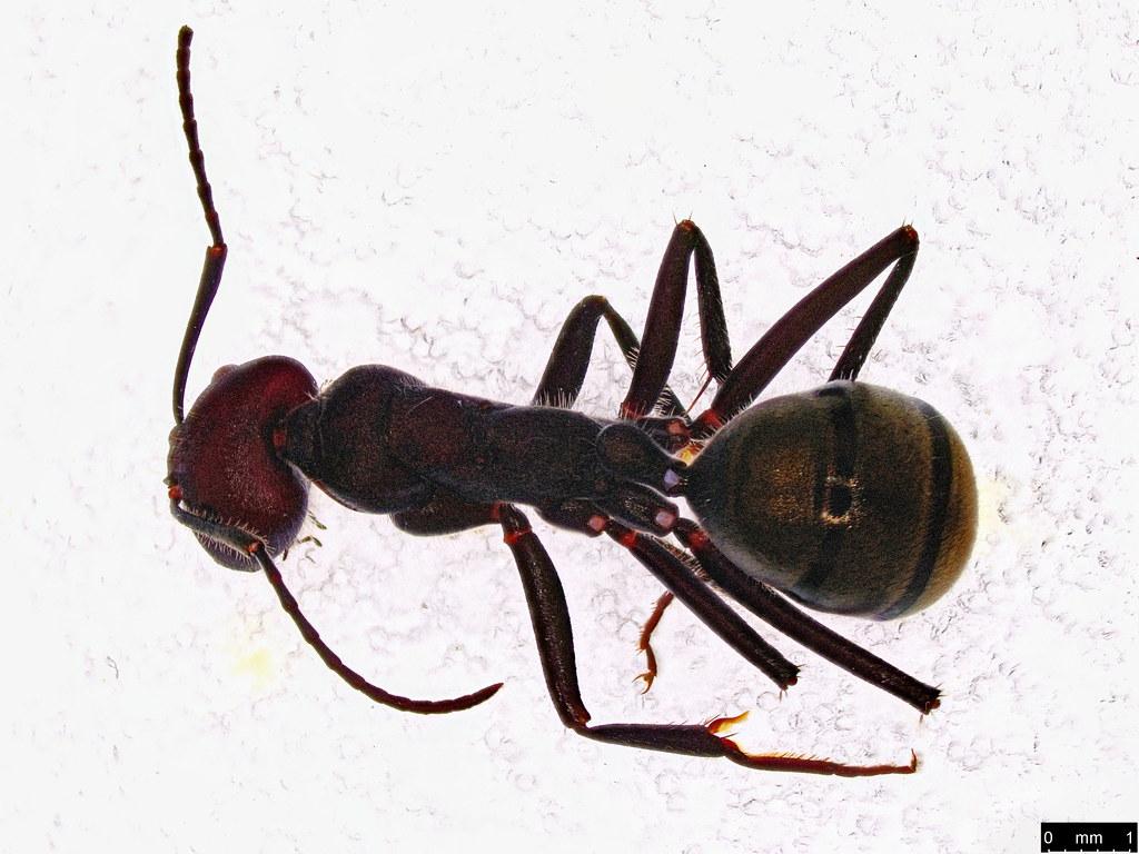 13a - Camponotus aeneopilosus Mayr, 1862