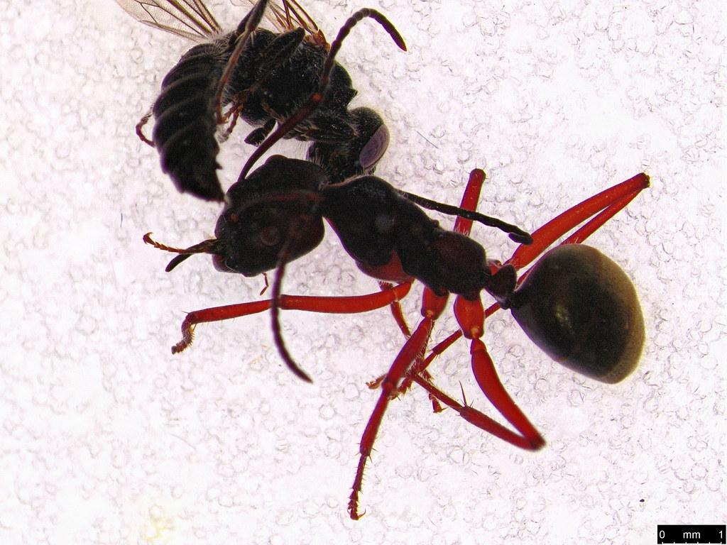 14a - Formicidae sp