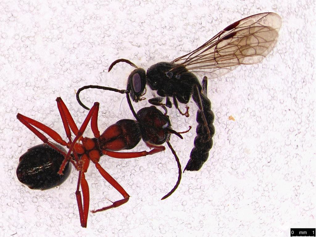 14b - Formicidae sp.
