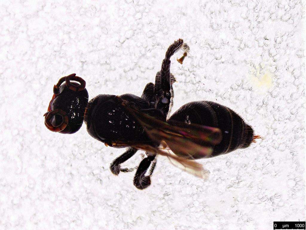 16b - Vespoidea sp.