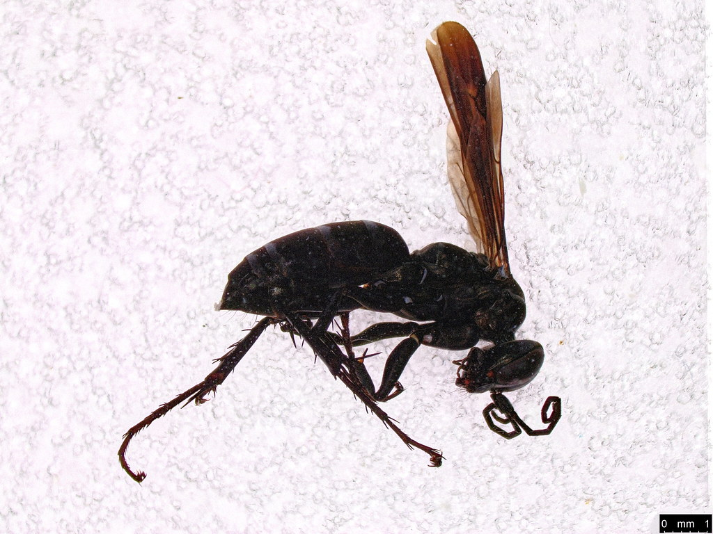 18 - Pompilidae sp.