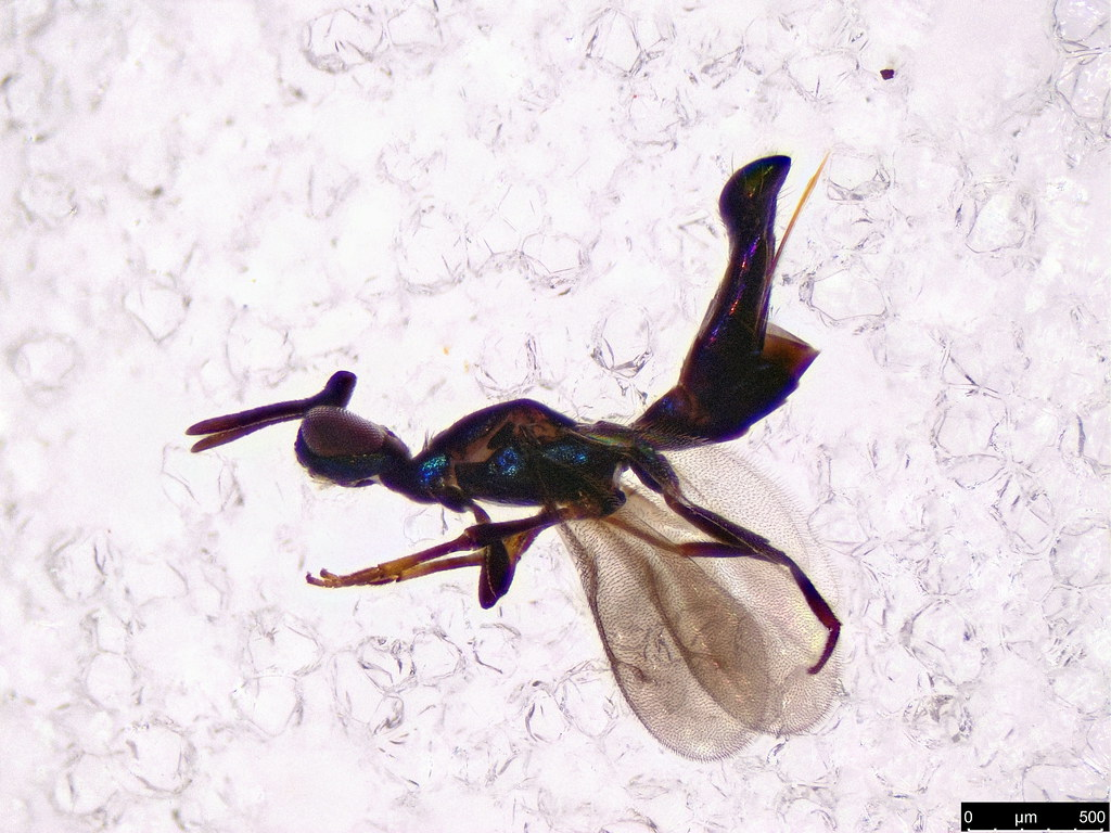 27a - Hymenoptera sp.