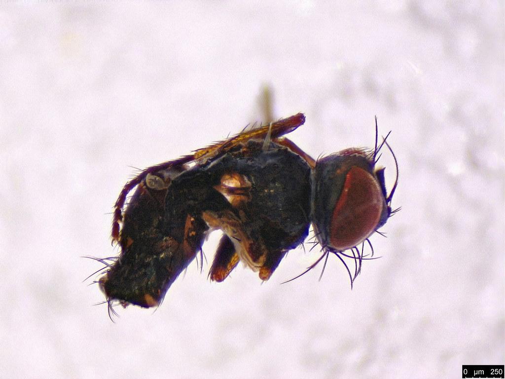 28 - Muscoidea sp.