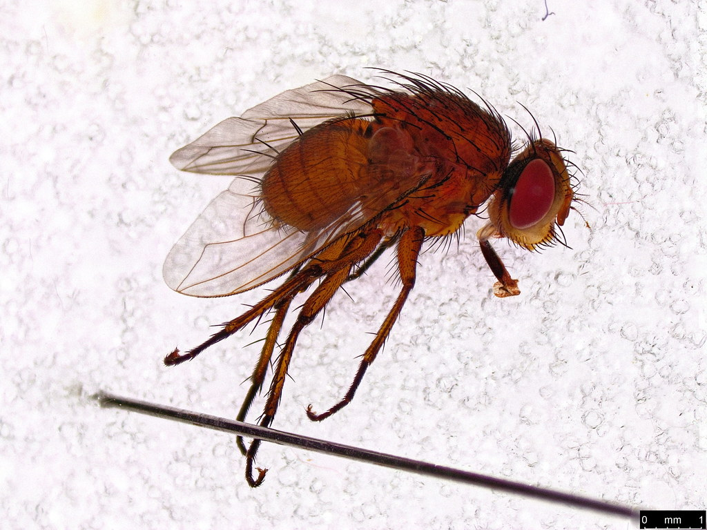 31 - Tachinidae sp.