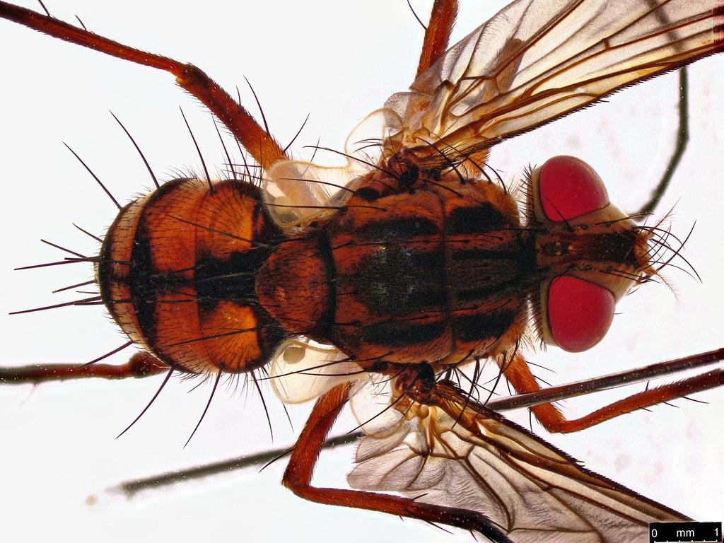 32a - Tachinidae sp.