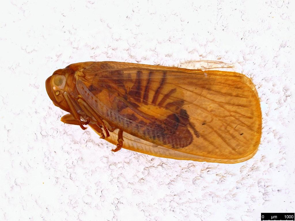 35 - Fulgoroidea sp.
