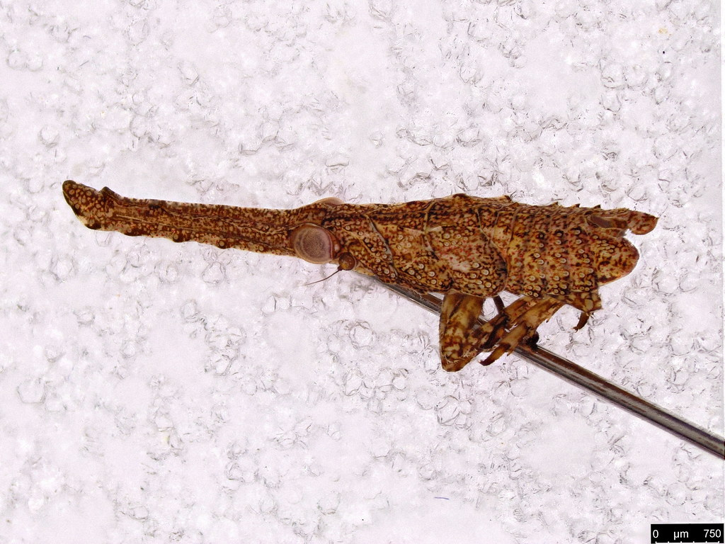37a - Xosopharini sp.