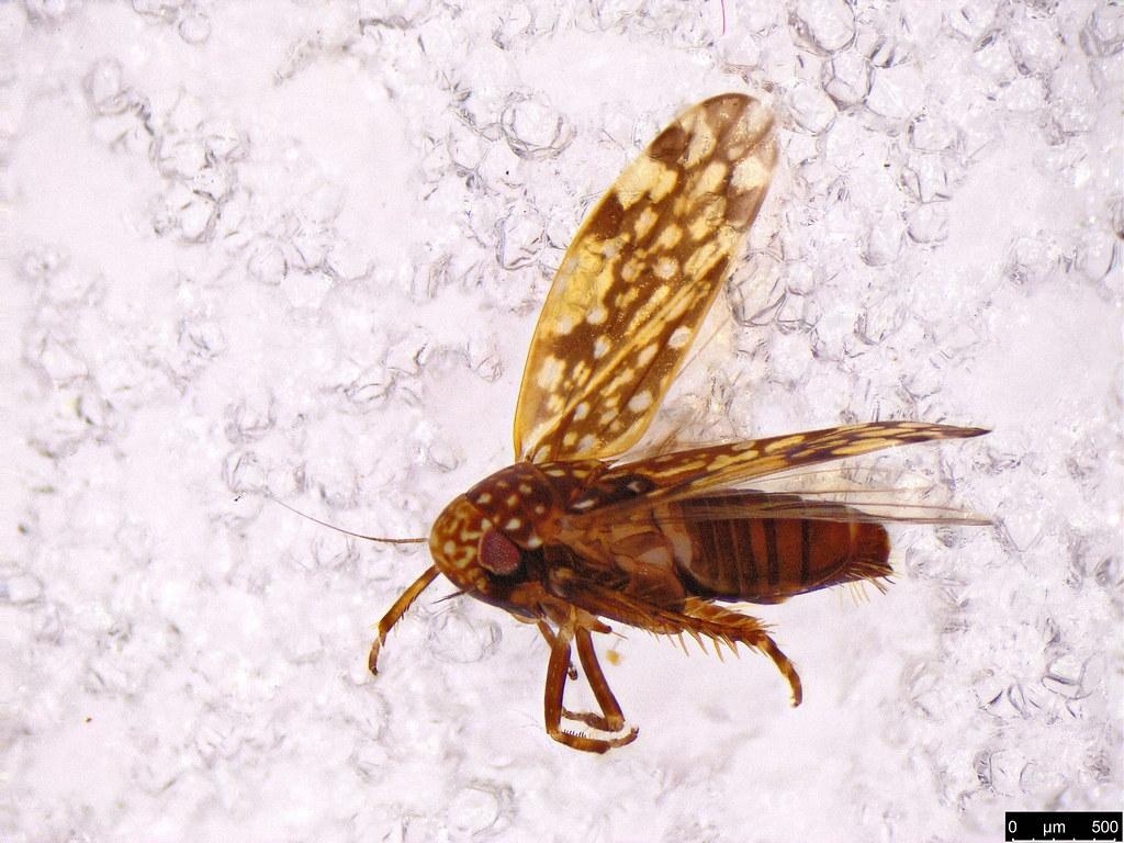 40a - Xestocephalus sp.