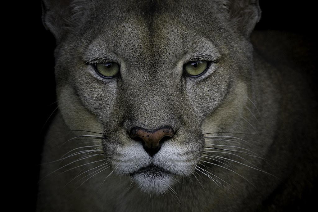 Puma (Puma concolor), Reserva Pumakawa, Provincia de Córdoba, Argentina