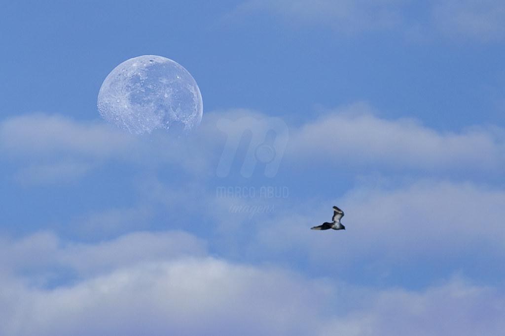 Lua Cheia, Nuvens e Pombo-Doméstico