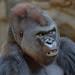 "<p><a href=""https://www.flickr.com/people/154721682@N04/"">Joseph Deems</a> posted a photo:</p>  <p><a href=""https://www.flickr.com/photos/154721682@N04/50896370671/"" title=""B&#039;Wenzi - Silverback Western Lowland Gorilla""><img src=""https://live.staticflickr.com/65535/50896370671_b1d666694b_m.jpg"" width=""231"" height=""240"" alt=""B&#039;Wenzi - Silverback Western Lowland Gorilla"" /></a></p>  <p>Dallas Zoo</p>"