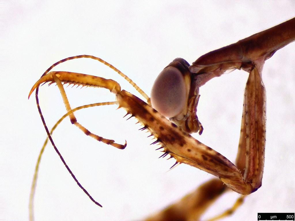 1b - Mantodea sp.