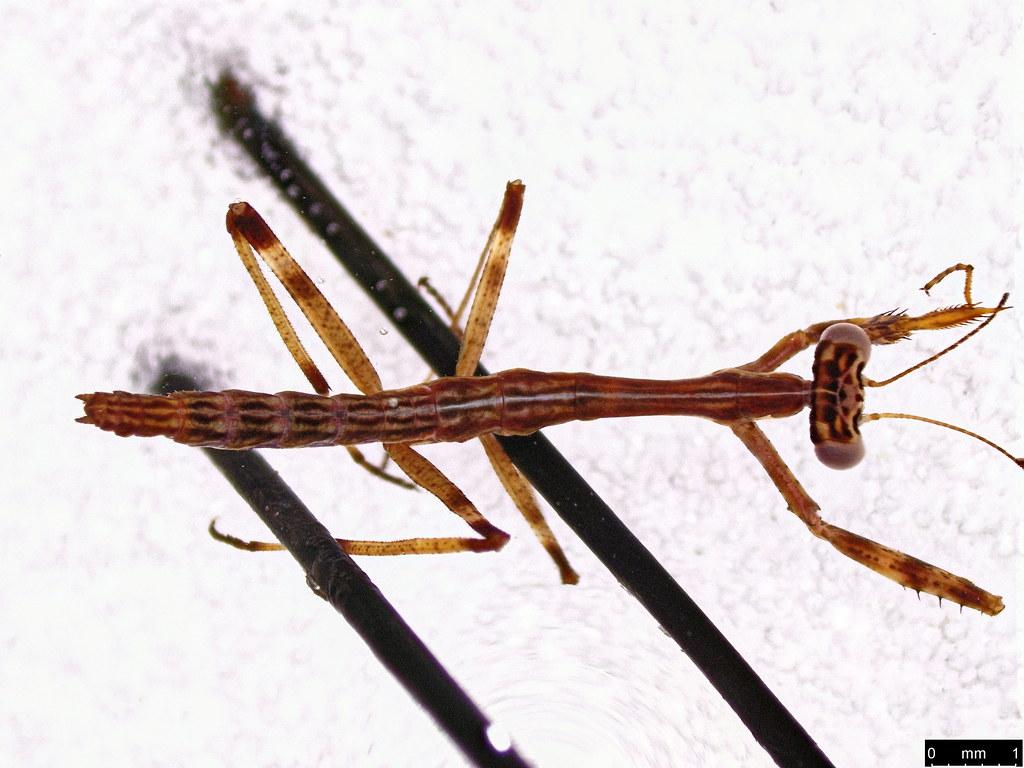 1d - Mantodea sp.