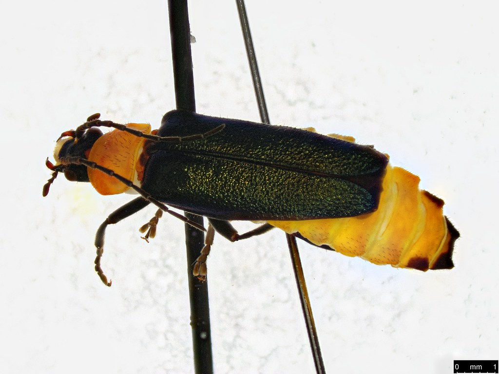 3b - Chauliognathus tricolor (Castelnau, 1840)