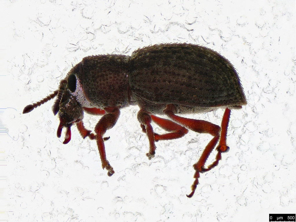 5a - Entiminae sp.