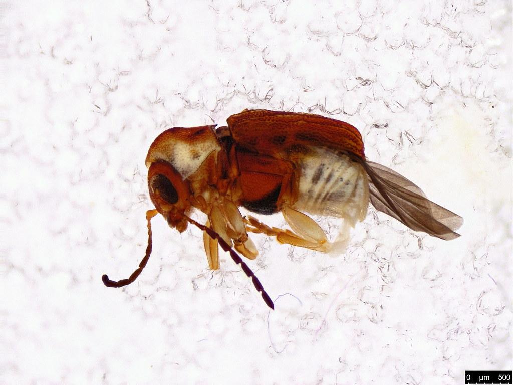 7a - Coleoptera sp.