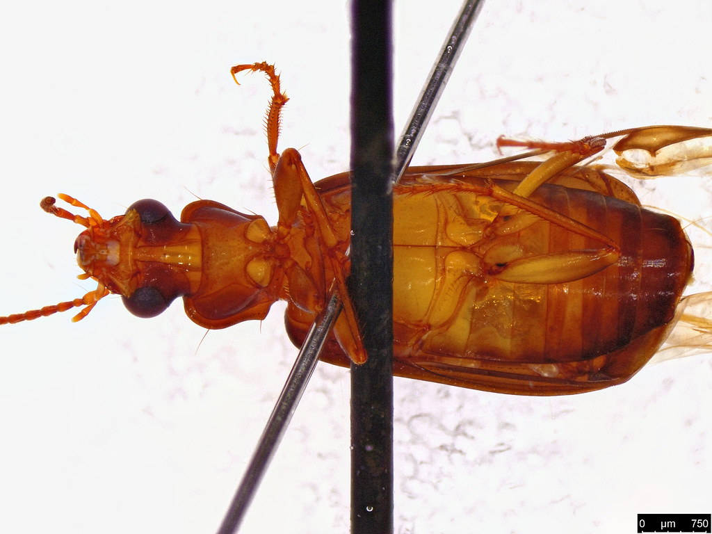 8b - Carabidae sp.
