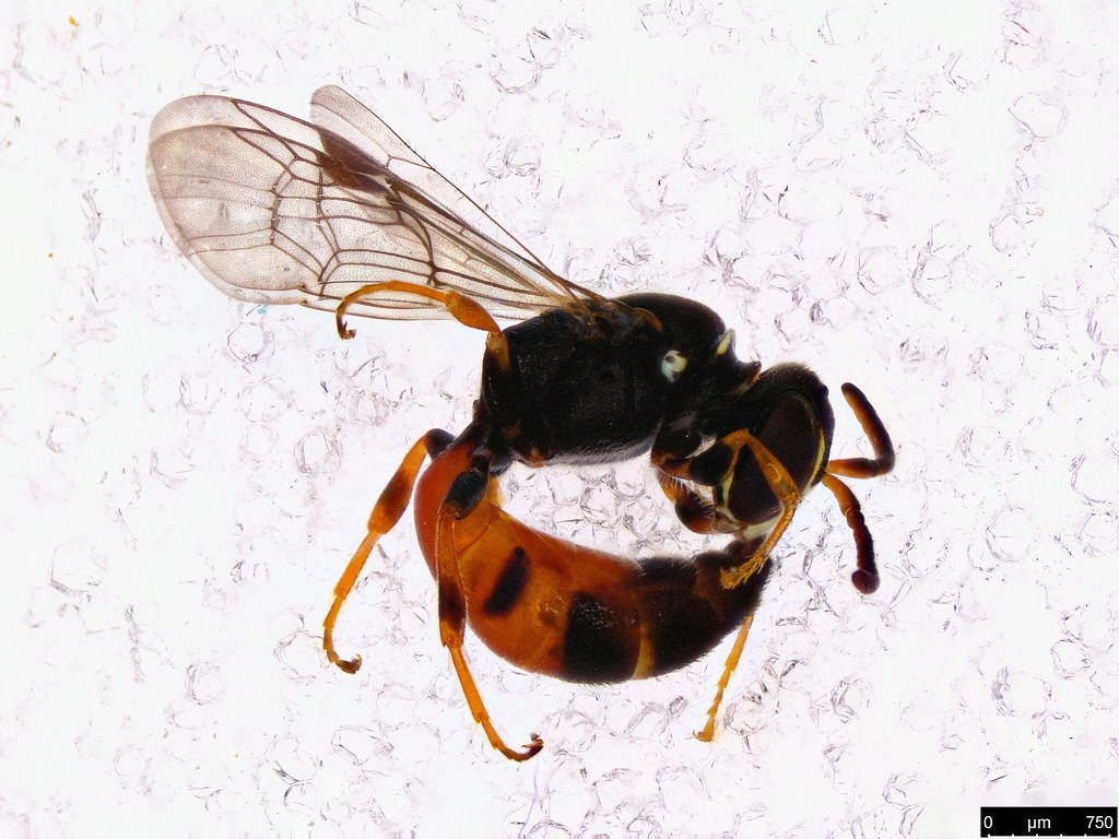 19a - Hylaeus littleri (Cockerell, 1918)