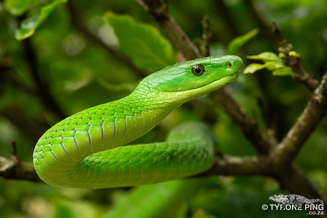 Dendroaspis angusticeps - Eastern Green Mamba