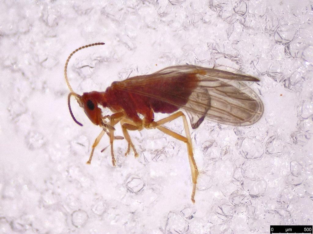 2 - Coniopterygidae sp.