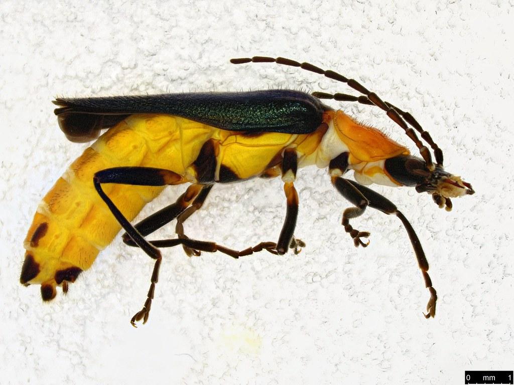 3a - Chauliognathus tricolor (Castelnau, 1840)