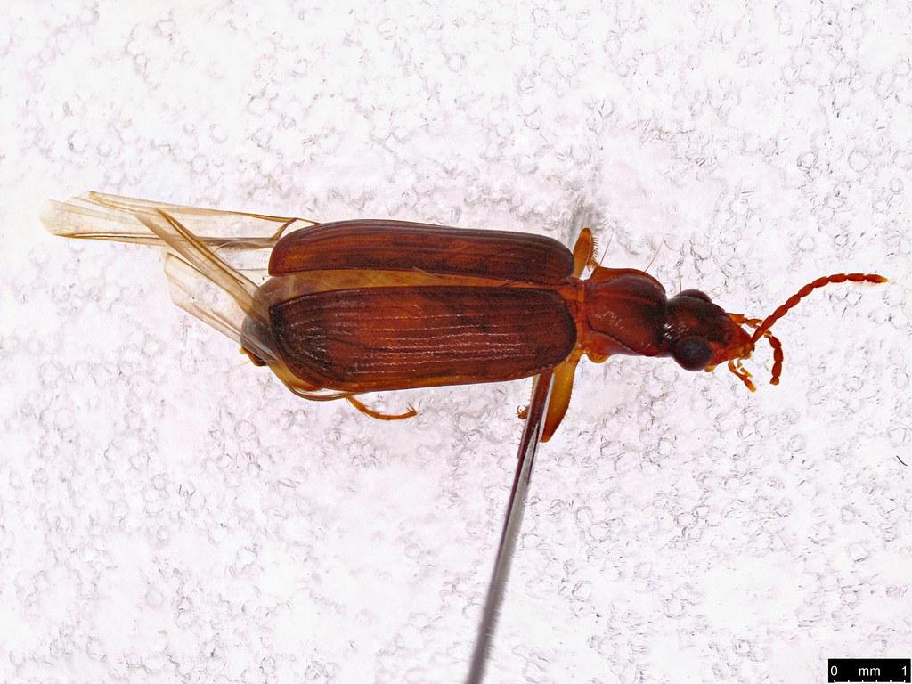 8a - Carabidae sp.