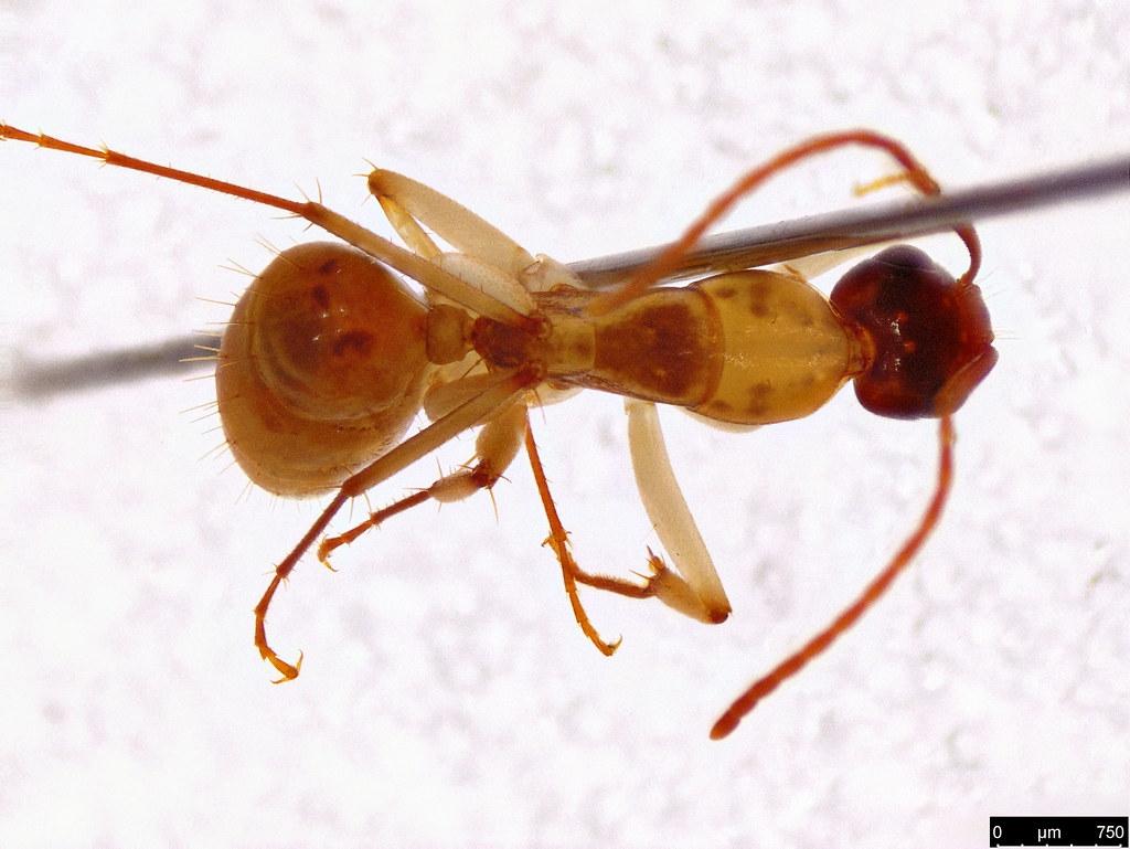 11b - Camponotus claripes Mayr, 1876