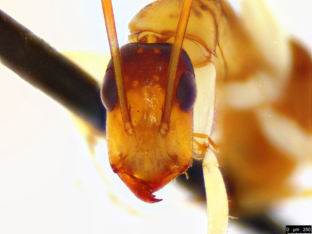 11d - Camponotus claripes Mayr, 1876