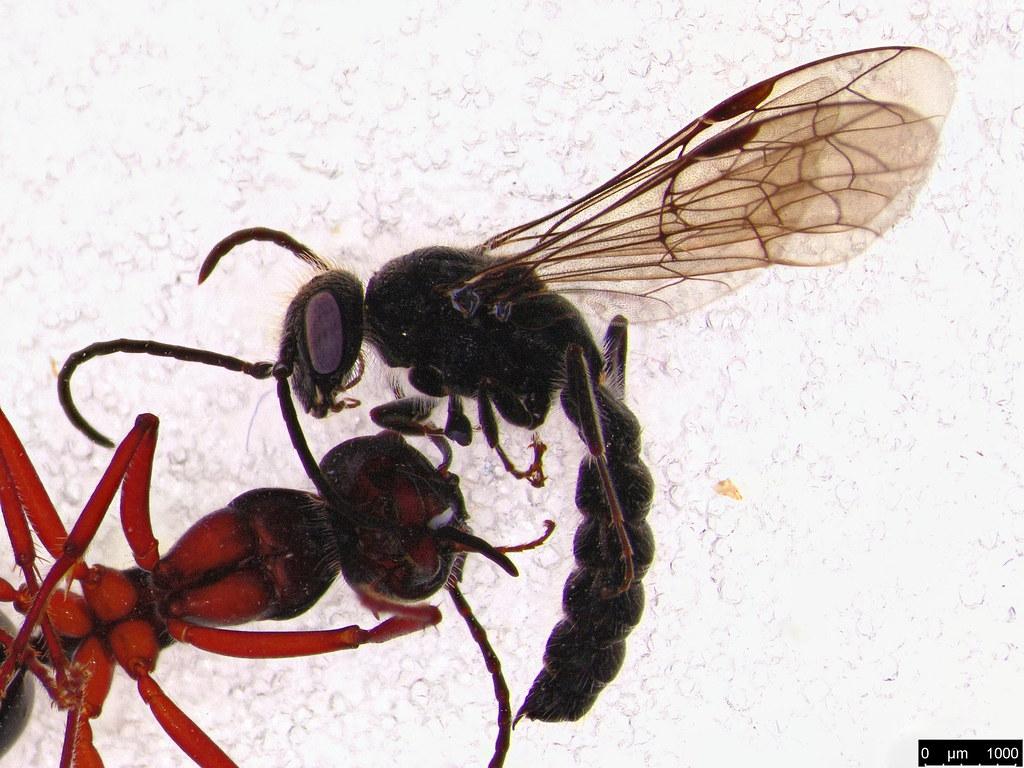 15 - Tiphiidae sp.
