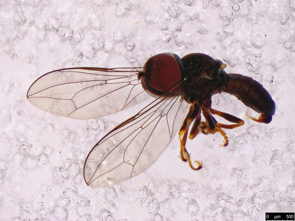 30a - Pipunculidae sp.