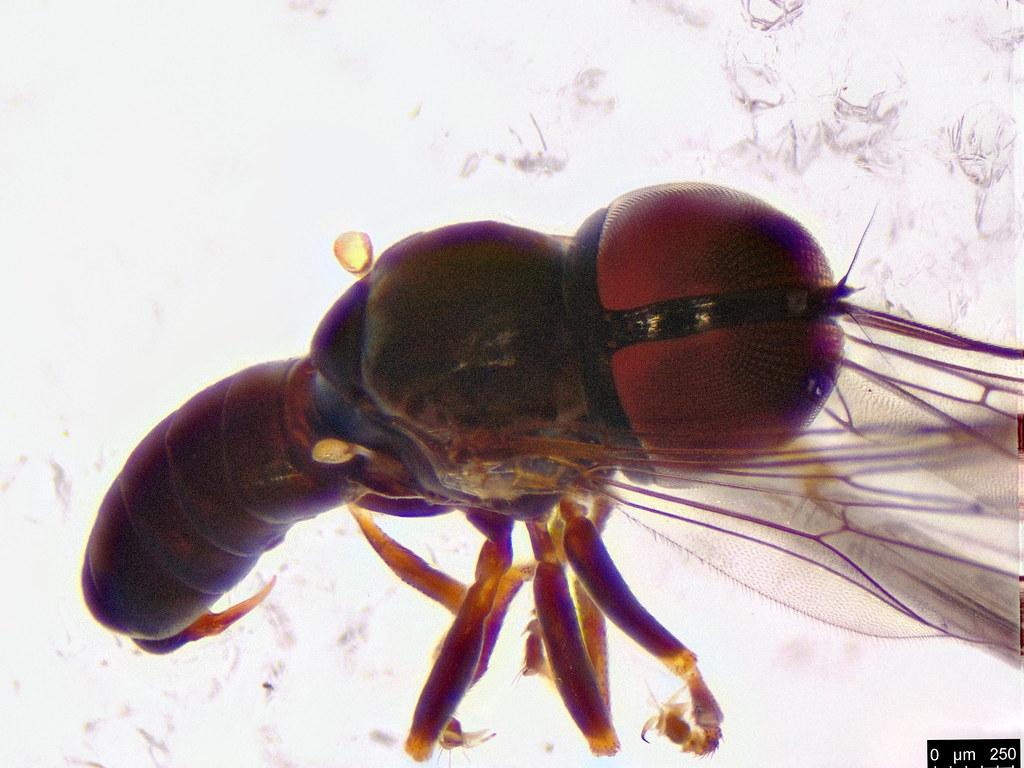 30c - Pipunculidae sp.