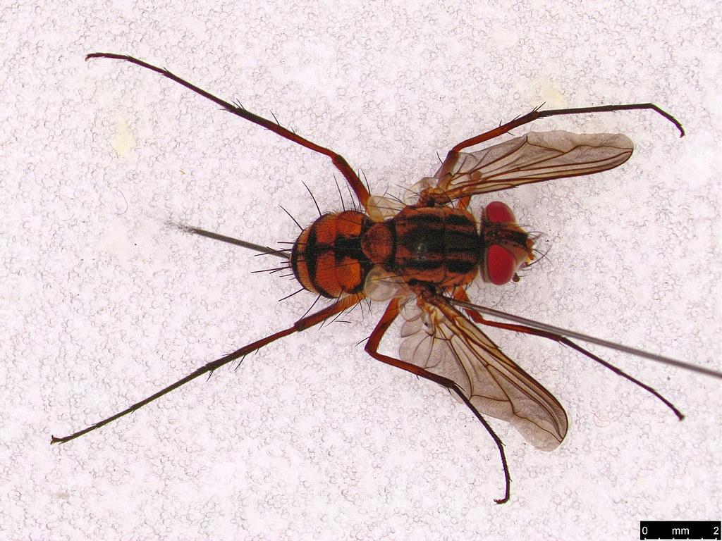 32b - Tachinidae sp.