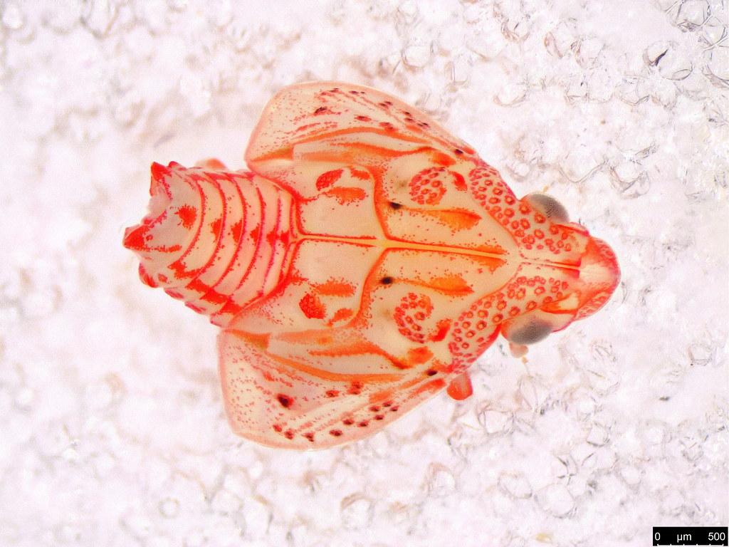 42a - Hemiptera sp.