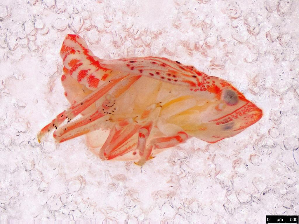 42b - Hemiptera sp.