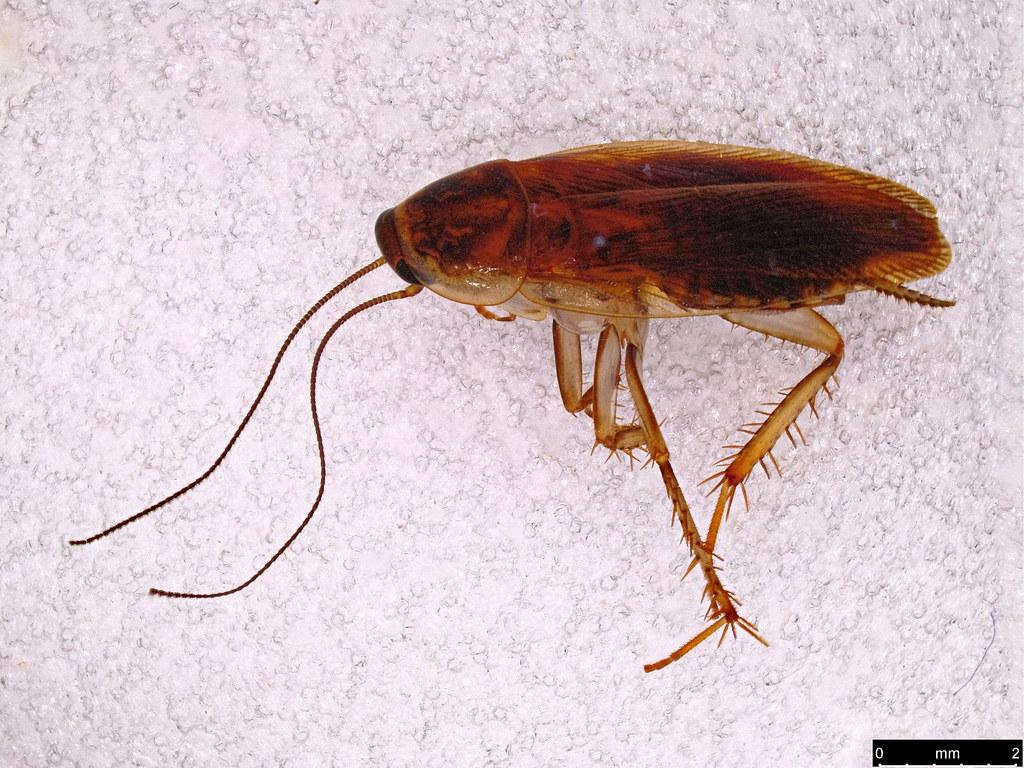 44a - Ectobiidae sp.