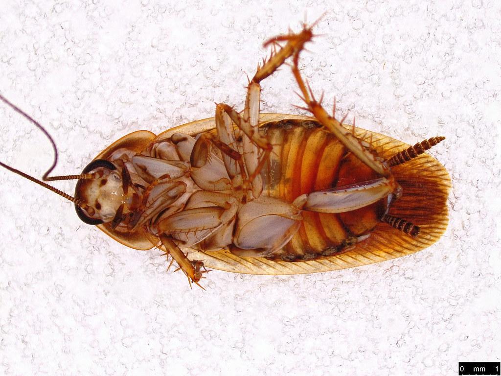 44b - Ectobiidae sp.