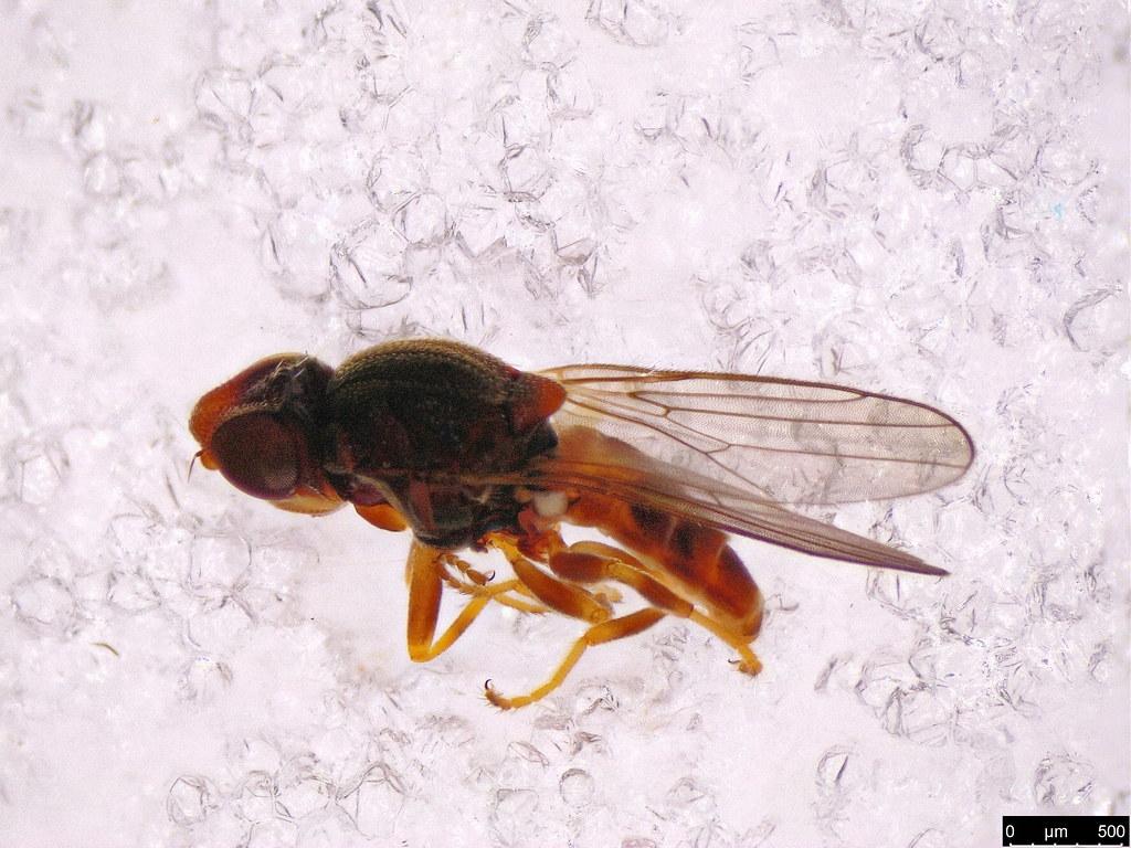 29b - Tricimba sp.