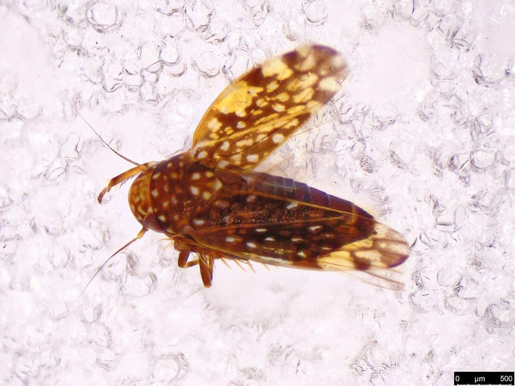 40b - Xestocephalus sp.