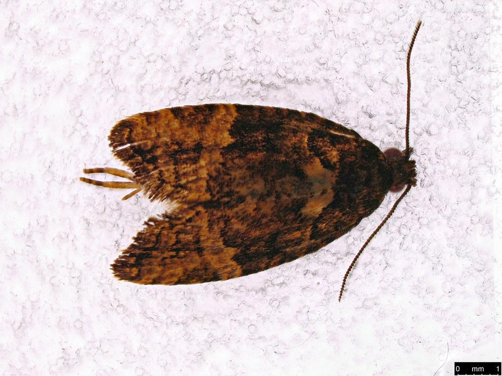 45 - Tortricinae sp.