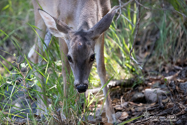 (EXPLORED) Coues White-tailed Deer (doe) ©Dancing Snake Nature Photography