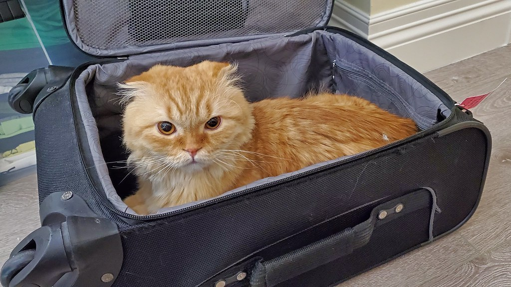 Pumpkin the Highland Fold inside luggage