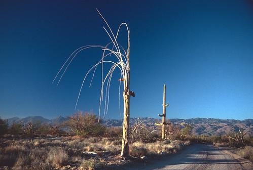 Saguaro Skeleton (1)