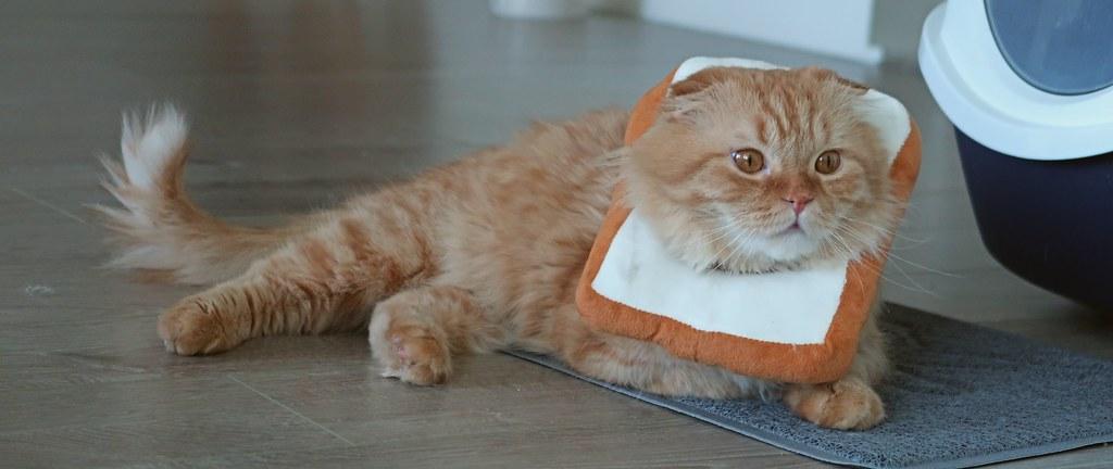 Pumpkin the Highland Fold