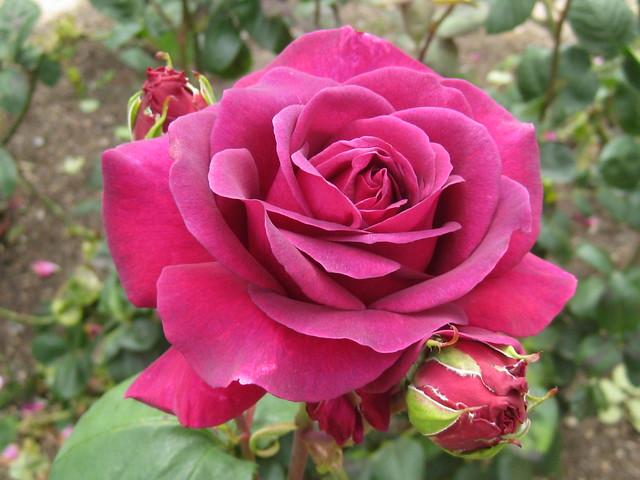 The Prince Rose Bloom - St Kilda Botanical Gardens, St Kilda