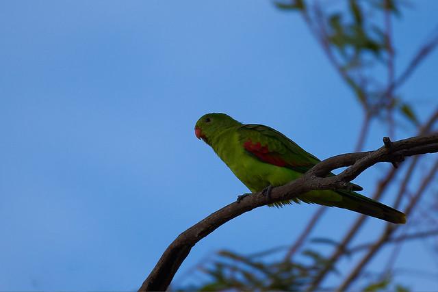 Red-winged Parrot Aprosmictus erythropterus Psittacidae